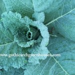 Learn How to Grow Your Own Organic Savoy Cabbage at Gothic Arch Greenhouses