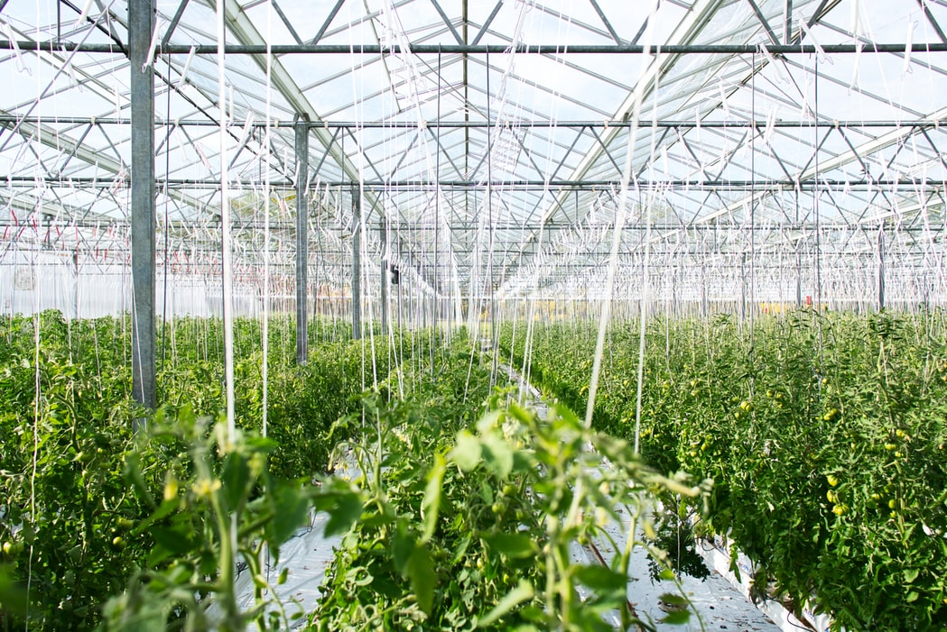 Growing Hemp in a Greenhouse