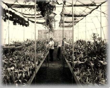 Gothic Arch Greenhouses for commercial grower